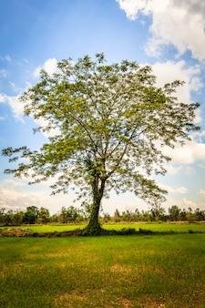 Regenbaum auf dem gebiet des ungeschützten reises und des blauen himmels