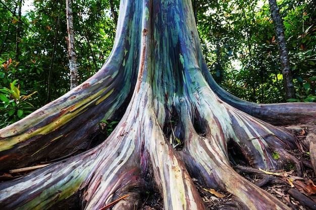 Regenbogen-eukalyptusbaum in maui-insel, hawaii