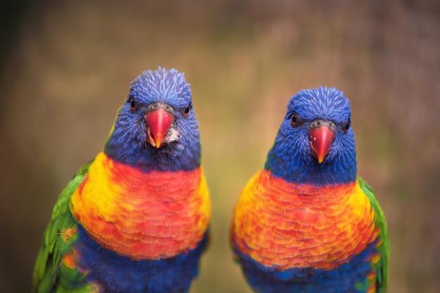 Regenbogen lorikeet
