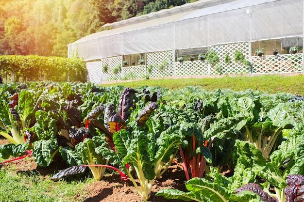 Regenbogenmangoldgemüse, das auf einem gemüseflecken mit gewächshaushintergrund wächst