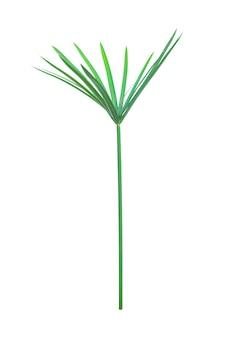 Regenschirmpflanze, papyrus, cyperus alternifolius. isoliert. mit beschneidungspfad.