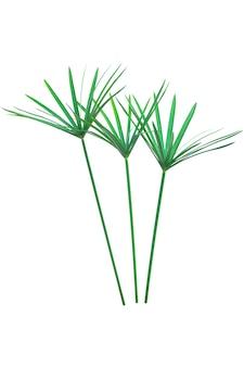 Regenschirmpflanze, papyrus, cyperus alternifolius. isoliert