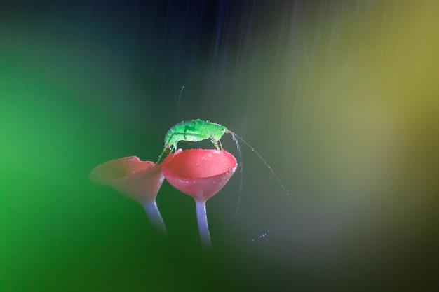 Regentag und die heuschrecke auf roten pilzen, pink burn cup pilz, tarzetta rosea (rea) dennis, pustuluria rosea rea