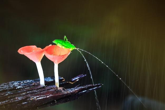 Regentag und die heuschrecke auf roten pilzen, pink burn cup pilz,
