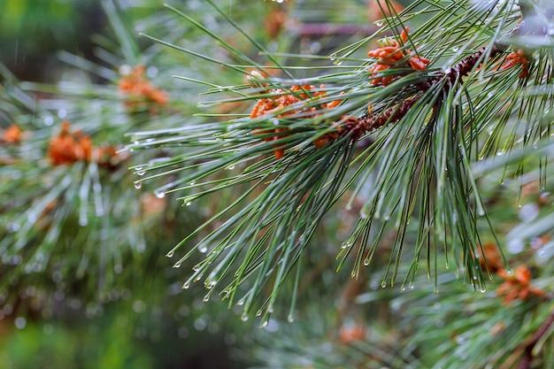 Regentropfen auf den tannenbaumnadeln