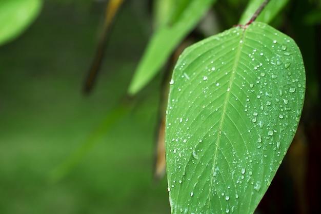 Regentropfen auf einem grünen blatt. natürliche flüssigkeitszufuhr von pflanzen.