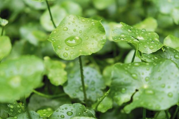 Regentropfen auf wasser pennywort im garten