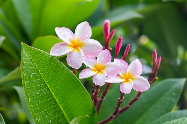Regentropfen auf weißen plumeriablumen