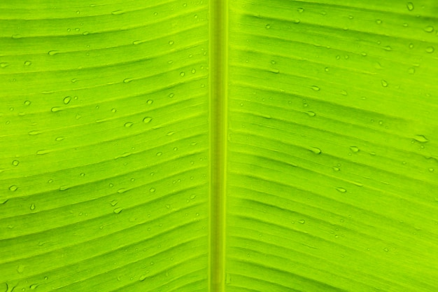 Regenwassertropfen auf grünem banaleaf