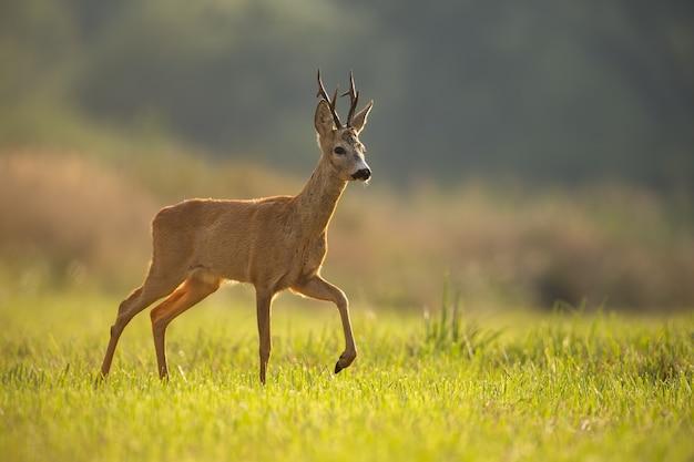 Reh, capreolus capreolus, bock im sommer mit unscharfem hintergrund und platz für text. wildes tier im hintergrundbeleuchtung zu fuß. tierwelt aus der natur.