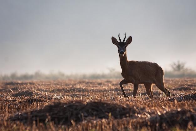Rehbock, der im sommer auf einem landwirtschaftlichen stoppelfeld geht.