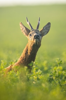 Rehbock schnüffelt morgens mit der nase auf dem grünen kleefeld