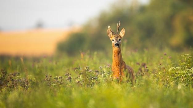 Rehbock steht stolz auf einer wiese mit wildblumen bei sonnenaufgang