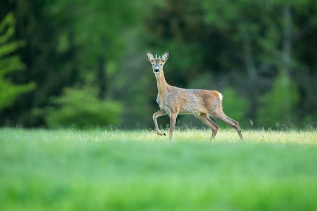 Rehe in der magischen natur schöne europäische tierwelt wildes tier im naturlebensraum