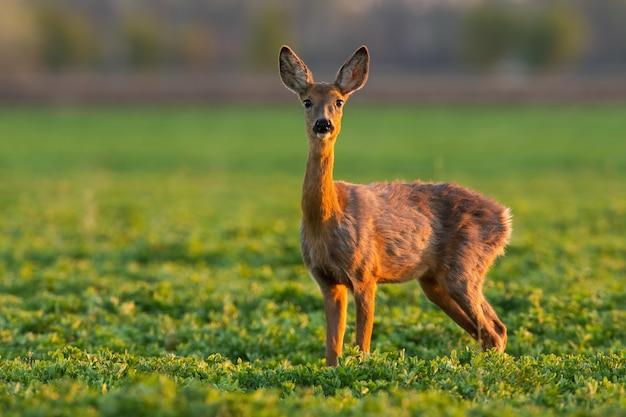 Rehwild steht auf grasland in der frühlingsnatur