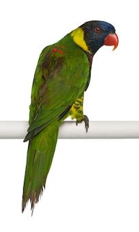 Reich verziertes lorikeet, trichoglossus ornatus, ein papagei, der vor weißem hintergrund hockt