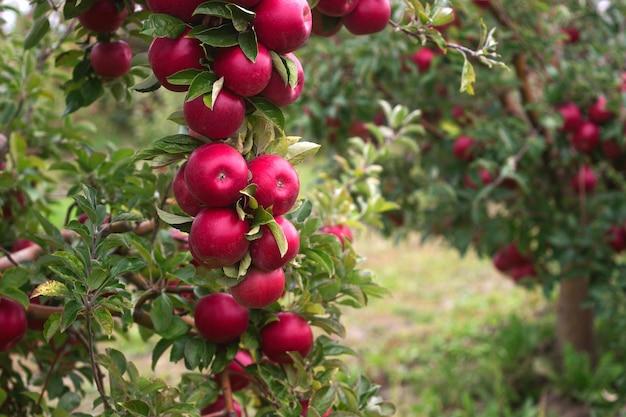 Reife äpfel auf den zweigen eines baumes im garten. tiefenschärfe.
