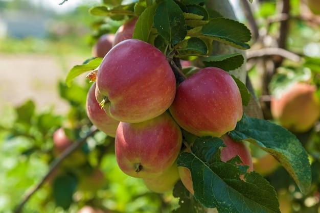 Reife äpfel auf einem astreife äpfel, die an einem ast im obstgarten hängen