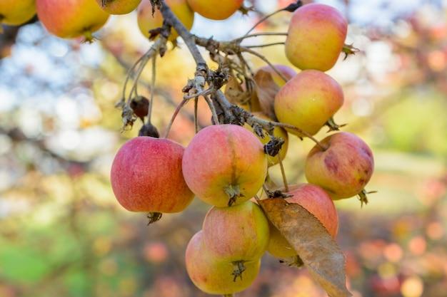 Reife äpfel des herbstes nahaufnahme. selektiver fokus. herbstlandschaft.