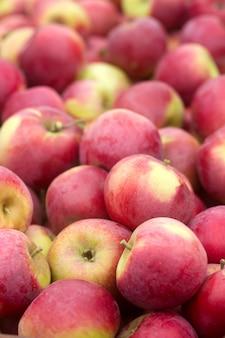 Reife äpfel, erntend im garten.