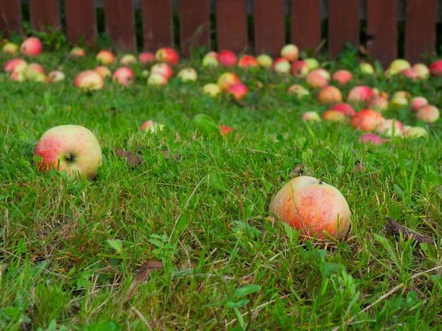 Reife äpfel fallen vom baum auf den boden