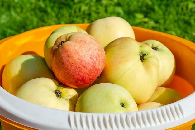 Reife äpfel in einem eimer ernten