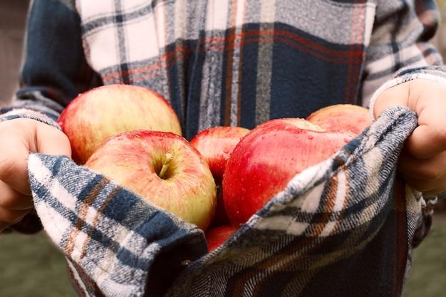 Reife äpfel in einem hemd in den händen eines kindes