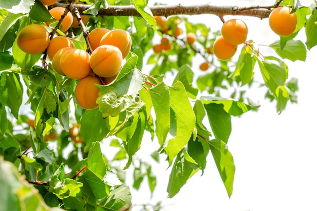 Reife aprikosen auf einem baum.