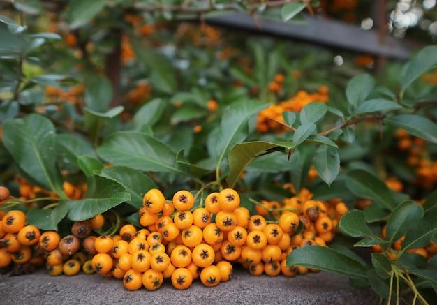 Reife beeren der orange firethorn oder pyracantha pflanzen auf dem zaun