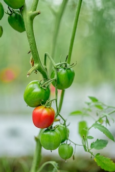 Reife bio-tomaten im garten erntereif