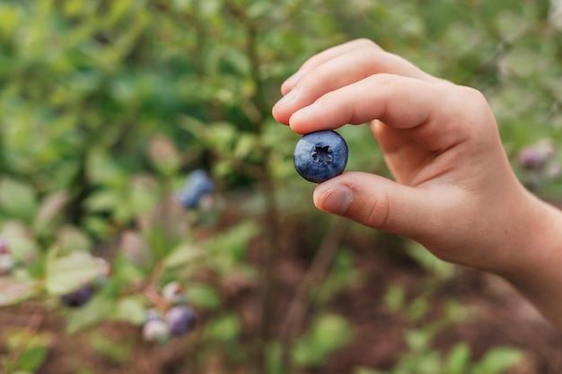 Reife blaubeere in der hand eines kindes auf einem unscharfen hintergrund des grünen blaubeerbuschs