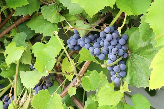 Reife blaue trauben am weinstock mit grünen blättern in natürlicher umgebung