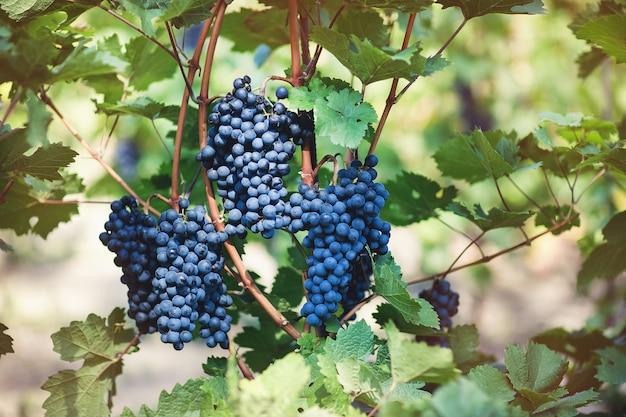 Reife blaue trauben im weinberg. herbst, sonniger tag, erntezeit. selektiver fokus, kopierraum. weinbaukonzept