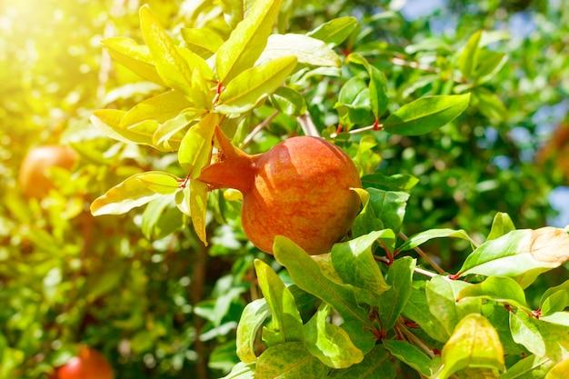 Reife bunte granatapfel-frucht auf baumast.