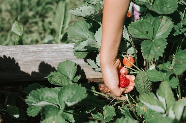 Reife erdbeere in der hand eines kindes auf bio-erdbeerfarm