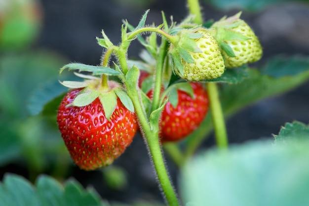 Reife erdbeeren im garten, nahaufnahme. erntekonzept.