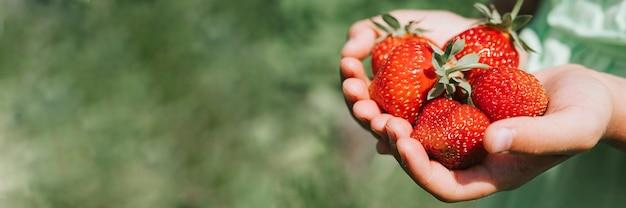 Reife erdbeeren in den händen eines kindermädchens auf bio-erdbeerfarm, leute, die erdbeeren in der sommersaison pflücken, ernten beeren.