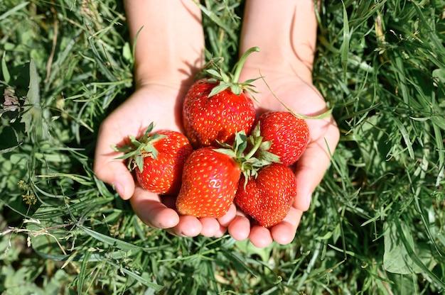 Reife erdbeeren in den händen eines kindes auf gras