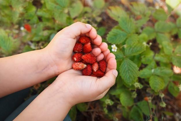 Reife erdbeeren in kinderhänden auf einem hintergrund von erdbeersträuchern