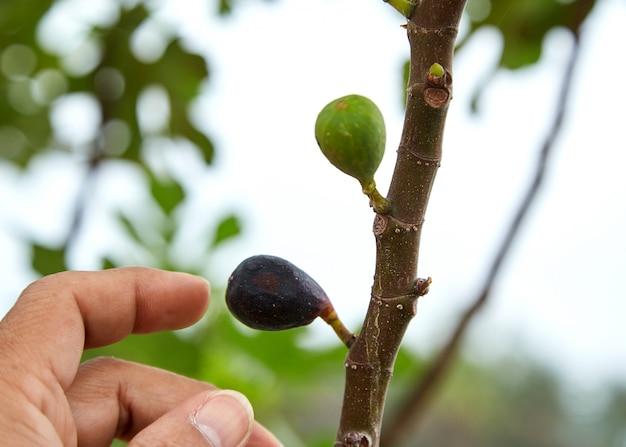 Reife feigenfrüchte auf baumast
