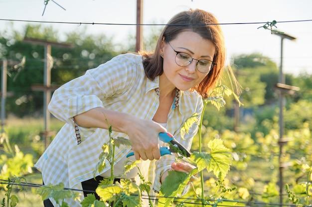 Reife frau, die mit gartenschere mit traubenbüschen arbeitet