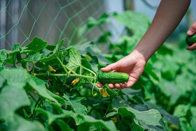 Reife frische gurke im garten ernten