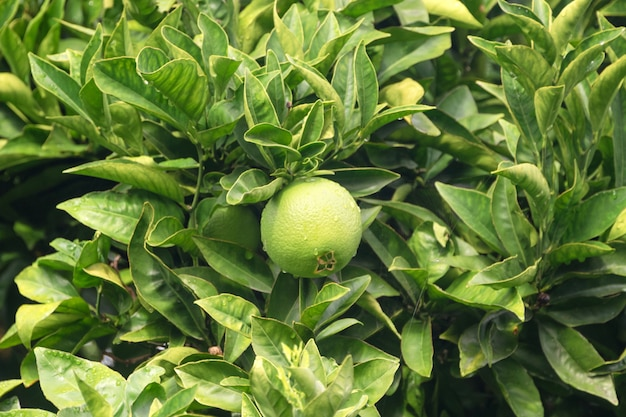 Reife früchte zitrone oder linde nahaufnahme. frische grüne zitronenlimetten mit wassertropfen hängen am ast im bio-garten