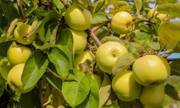 Reife gelbe äpfel auf einer zweignahaufnahme