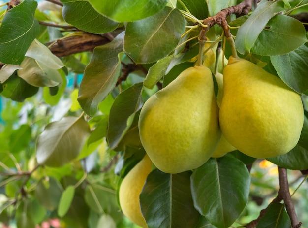 Reife gelbe birnen hängen an einem zweig mit grünen blättern, nahaufnahme und unscharfem hintergrund an einem sommertag. garten- und landwirtschaftskonzept