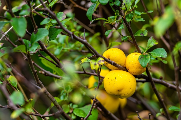 Reife gelbe quittenfrucht auf einem baum in einem bio-garten