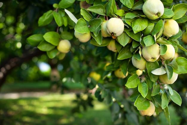 Reife gelbe quittenfrucht wächst auf einem quittenbaum mit grünem laub im herbst-öko-garten. große fruchtquitten auf baum sind bereit zu ernten. bio-äpfel hängen an einem ast in einem apfelgarten.