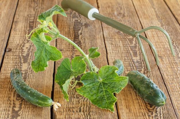 Reife gurken mit grünen blättern, die im garten gepflückt wurden und auf den holzbrettern liegen. frisches gemüse. Premium Fotos