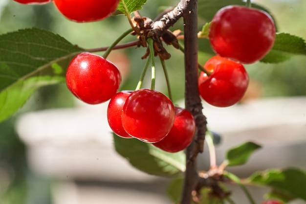 Reife kirschen hängen von einem kirschbaumzweig. nahaufnahme von kirschfrüchten auf einem baum