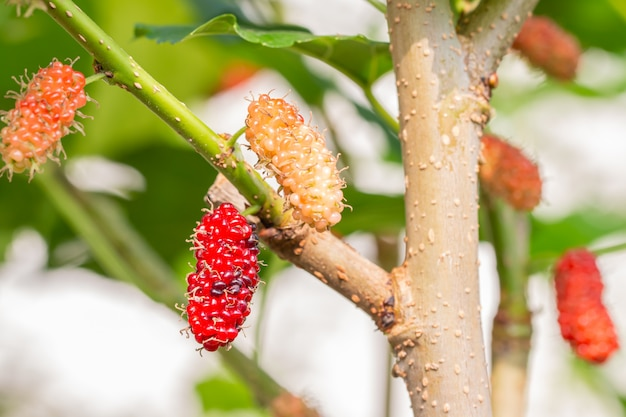 Reife maulbeerfrucht auf zweig.
